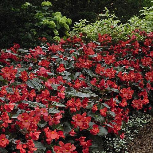 Whopper Red Bronze Landscape Begonia