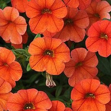 Calibrachoa Cabaret Orange