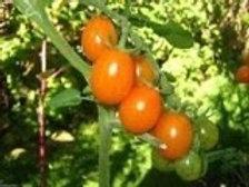 Camelo Orange Grape Tomato