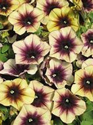 Cascadias Autumn Mystery Petunia