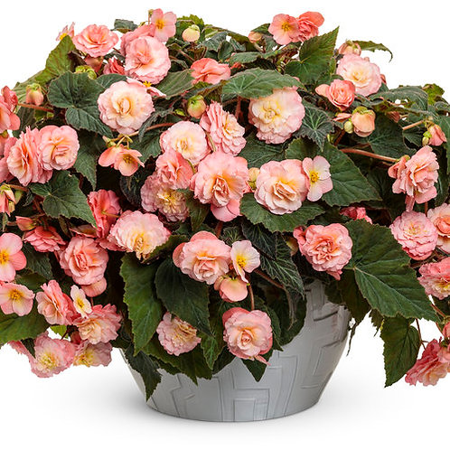Double Delight Blush Rose Begonia