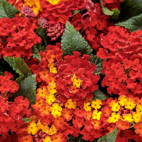 Lantana Luscious Royale Red Zone