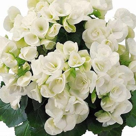 Reiger Begonia Clara