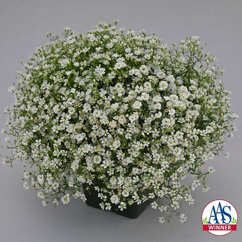 Gypsophila Gypsy White