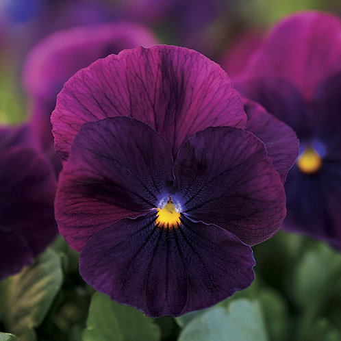 Cool Wave Purple Pansy