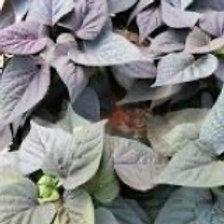 Ipomoea Flora Mia Cameo - Sweet Potato Vine