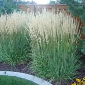 Karl Foerster Grass (Calamagrostis)