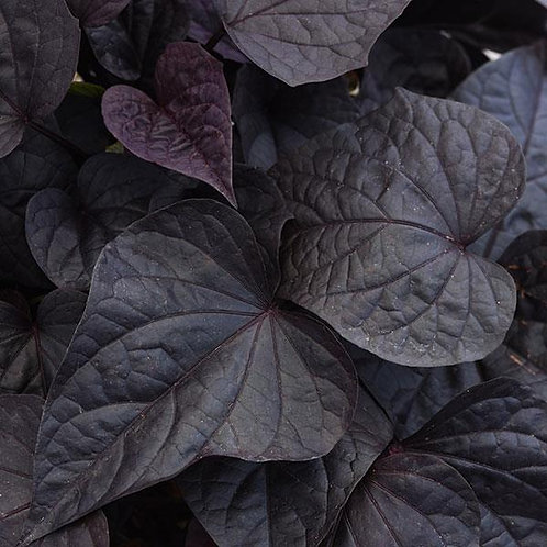 Ipomoea Solar Power Black Heart- Sweet Potato Vine