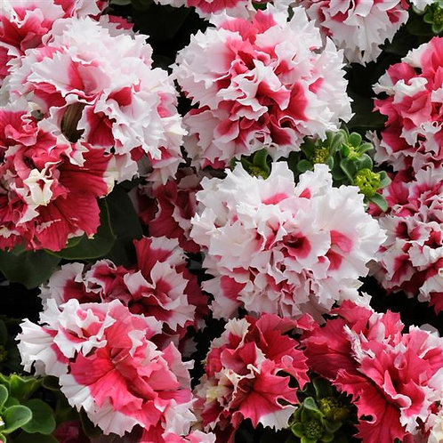 Petunia Double Red Pirouette
