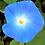 Thumbnail: Morning Glory Heavenly Blue