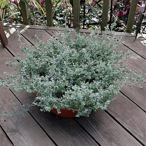Helichrysum Silver Leaf