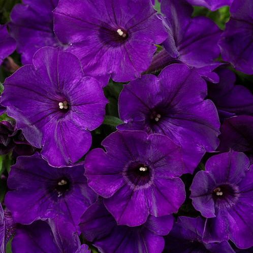 Supertunia Royal Velvet