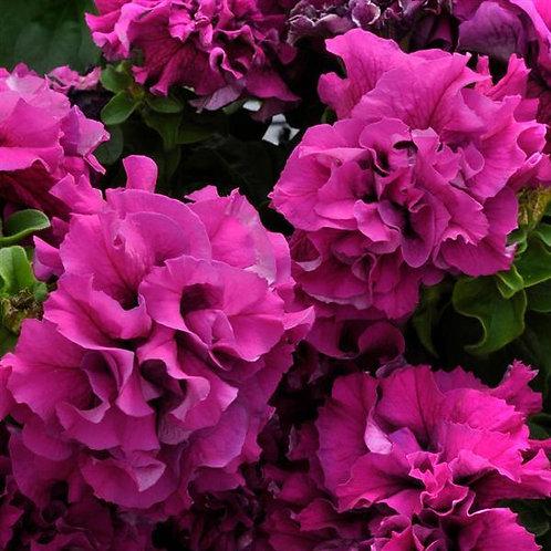 Petunia Double Cascade Burgundy