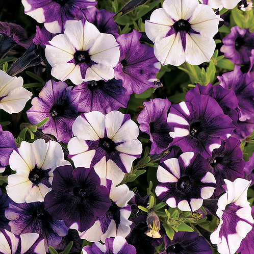 Shock Wave Tie Dye Purple Petunia