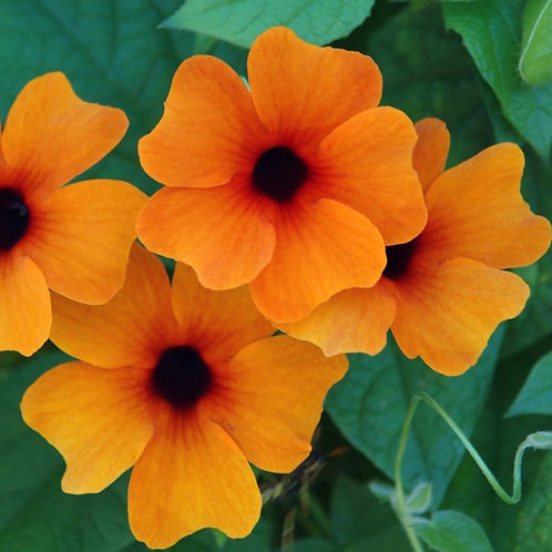 Thunbergia Sunny Suzy Red-Orange - One Gallon Staked