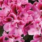 Geranium Regal Aristo Candy (Martha Washington)