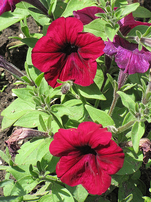 Madness Burgundy Petunias (6 pack)