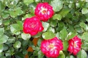 Hardy Rose - Never Alone