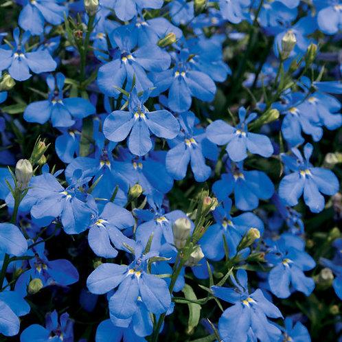 Lobelia Laguna Dark Blue