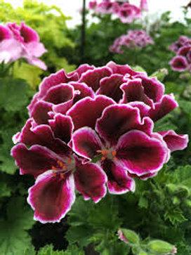 Geranium Regal Elegance Burgundy