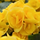 Thumbnail: Nonstop Yellow Begonia