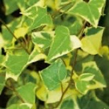 German Ivy Variegated (Fillers & Vines)