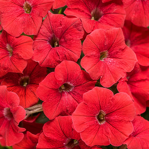 Petunia Supertunia Really Red