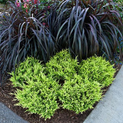 Pennisetum Vertigo Grass