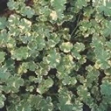Creeping Charlie Variegated (Fillers & Vines)