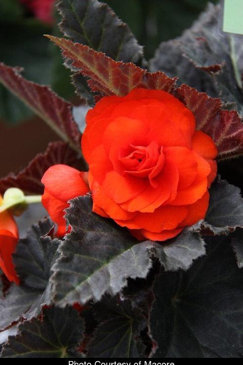 Nonstop Orange Begonia