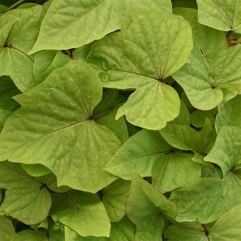 Ipomoea Solar Power Lime Heart- Sweet Potato Vine