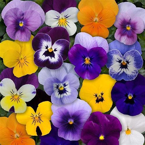 Viola Admire Mix