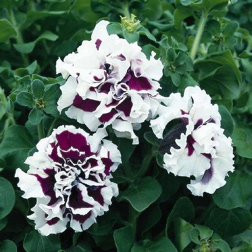 Double Cascade Purple Pirouette Petunia (6 pack)