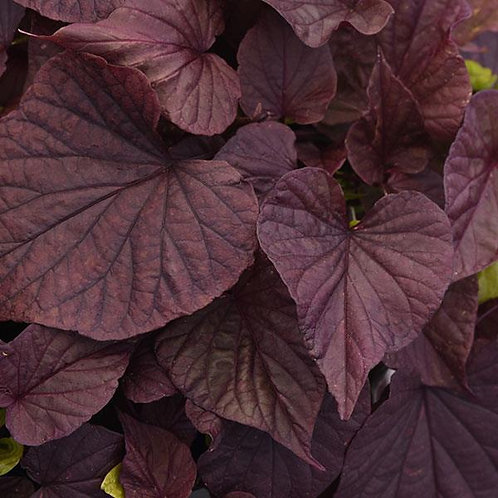 Ipomoea Solar Power Red Heart- Sweet Potato Vine