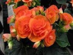 Reiger Begonia Batik