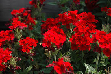 Verbena Lascar Dark Red