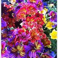 Salpiglosis Velvet Flower Royal Mixture