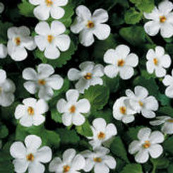 Bacopa Snowstorm Giant Snowflake