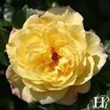 Hardy Rose Rugelda