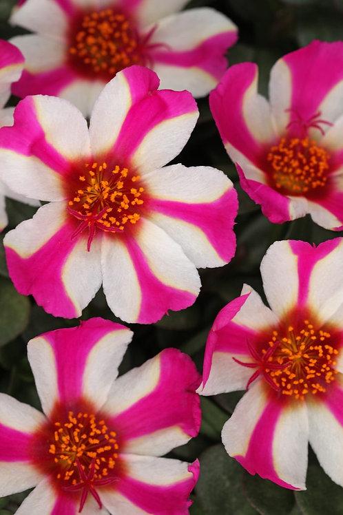 Portulaca ColorBlast Pink Lady