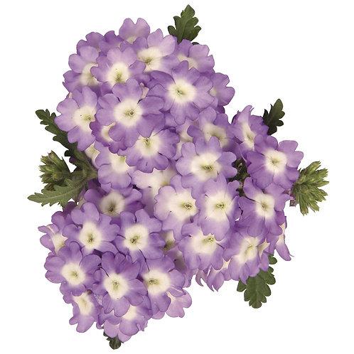 Verbena Empress Sun Lavender Charme