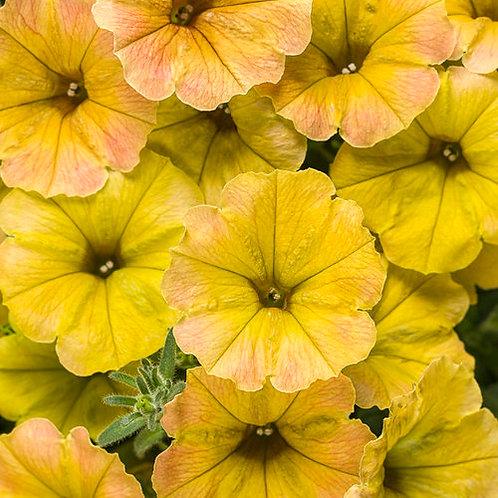 Petunia Supertunia Honey