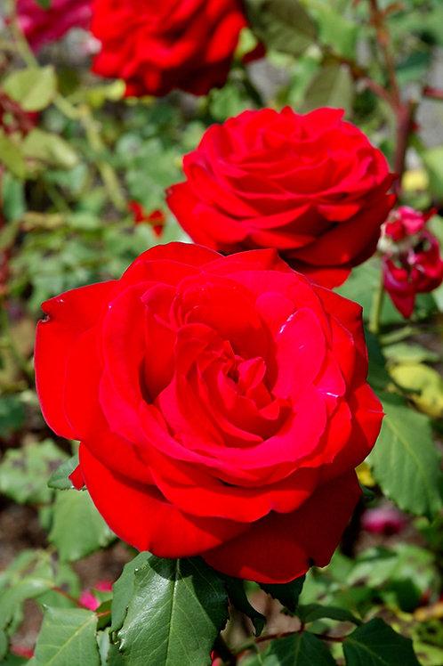 Tender Rose Olympiad