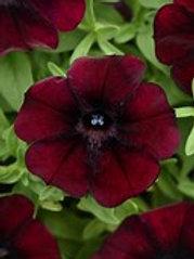 Starlet Pinot Red Petunia