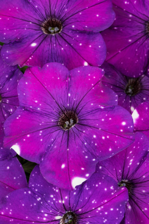Constellation Aries Petunia