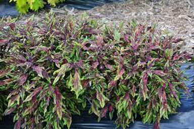 Coleus Flamethrower Chili Pepper