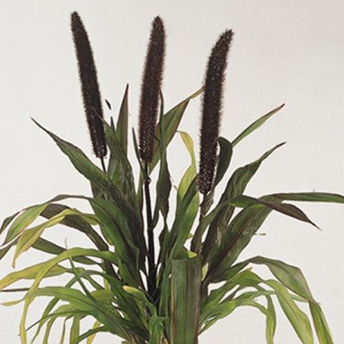 Ornamental Millet Purple Baron Grass