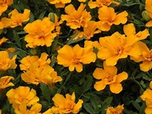 Marigold Safari Orange