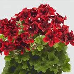 Geranium Regal Aristo Velvet Red (Martha Washington)