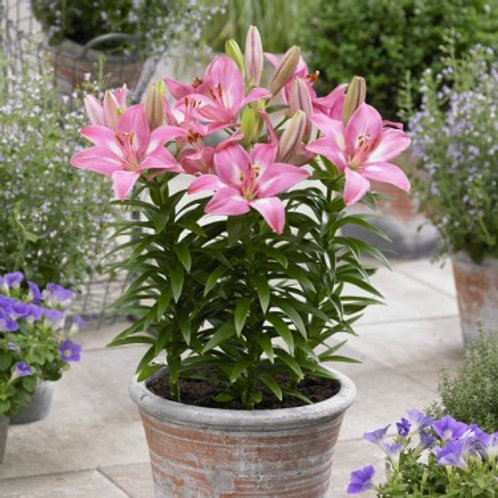 Lily Asiatic Pot Rozalynn